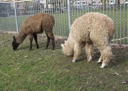 De Lama en Alpaca