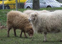 Het Ouessant schaap